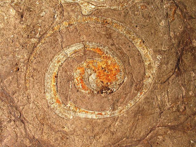 actaeonellid gastropod fossil in the cretaceous age cotui limestone cueva la tuna municipio de cabo rojo puerto rico 2 by Alan Cressler, via...