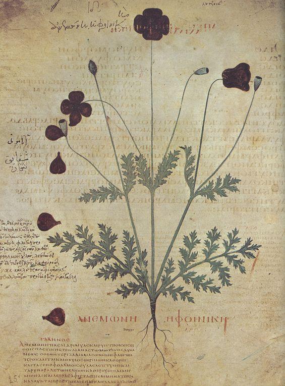 """Anemonê ê phoinikê, Wiener Dioskurides, folio 25v, (copy of """"De materia medica"""" by Pedanius Dioscorides), 512 n. Chr."""