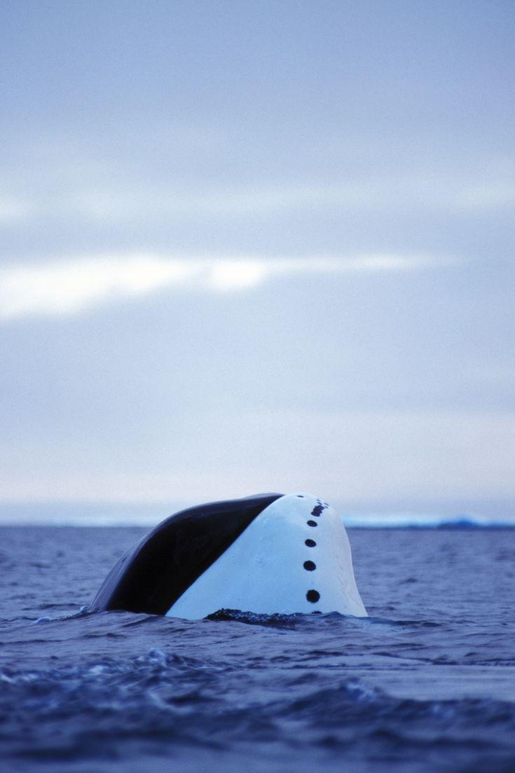 Baleine boréale ©: Paul Nicklen/National Geographic Stock / WWF-Canada