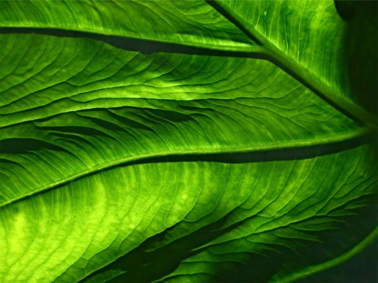 green leaf leaves -  green leaf leaves free stock photo Dimensions:2365 x 1774 Size:0.65 MB  - http://www.welovesolo.com/green-leaf-leaves/