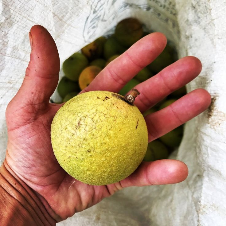 Despite what you may hear in suburban America, Black walnuts are not the nuisance we are taught to believe they are. The Eastern Black Walnut or Juglans nigra in Sciencese, is one of the most calorie dense foods in North America! Boasting an impressive 189 calories in a quarter cup of nuts (s
