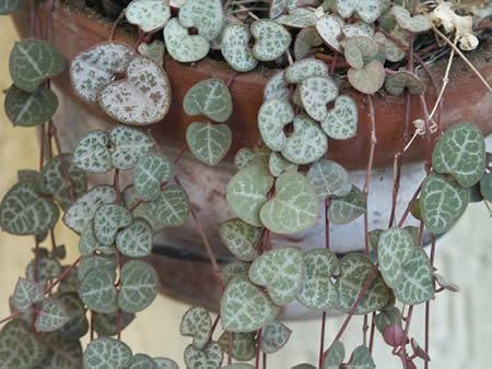 Corações-emaranhados (ceropegia woodii)