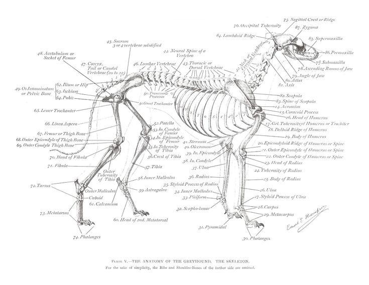 greyhound anatomy diagram - the skeleton