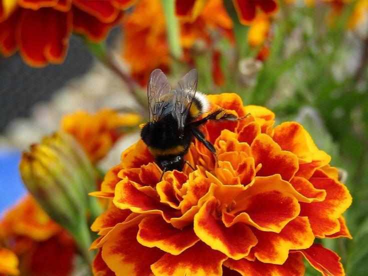 """78 To se mi líbí, 4 komentářů – Martin Kříž (@mmkriz) na Instagramu: """"#bumblebee #flowers #flower #colors #color #nature #naturelovers #beautiful #beautifulday…"""""""