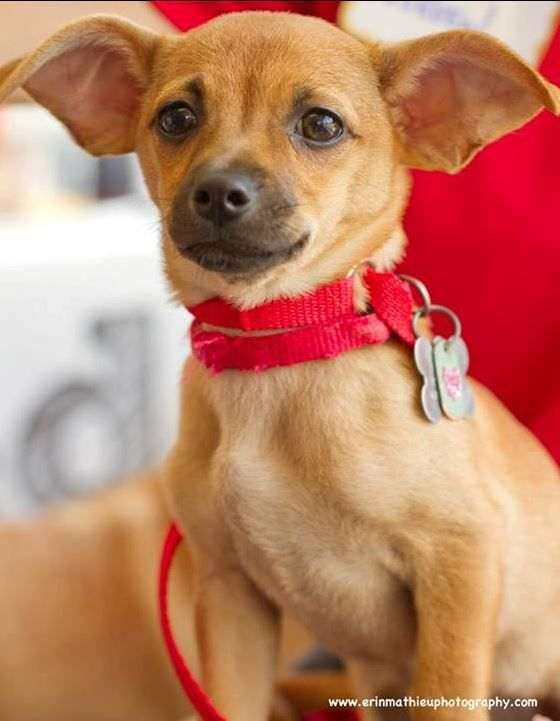 chihuahua mix breeds best 25 chihuahua terrier mix ideas on pinterest 7451
