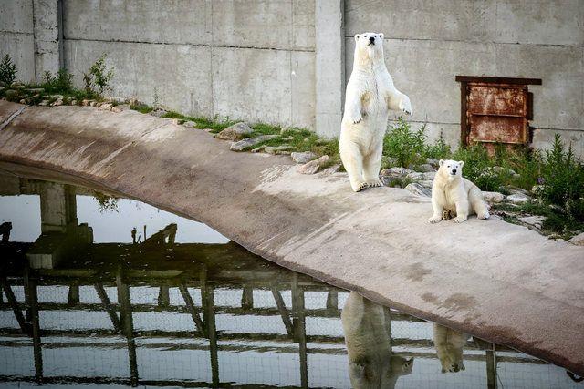 Ranuan jääkarhut Venus-emo ja vielä nimeämätön poikanen peuhasivat Rukalta tuodulla lumella ja menivät sitten uimaan.