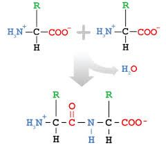 When two amino acids are linked together water is removed.  That is a process called dehydration synthesis and a peptide bond is formed.