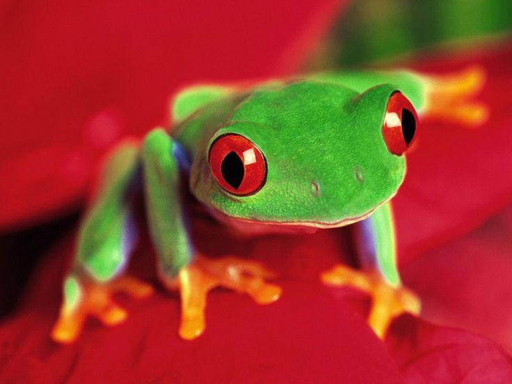 katak hijau Hewan Wallpaper dalam resolusi tinggi