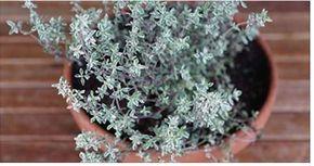Você sabe que planta é essa?Seu nome científico é Thymus vulgaris.Popularmente ela é conhecida como tomilho.Esta erva pode combater o vírus da gripe, herpes e cândida.Tudo isso graças às suas propriedades:- Antibacterianas