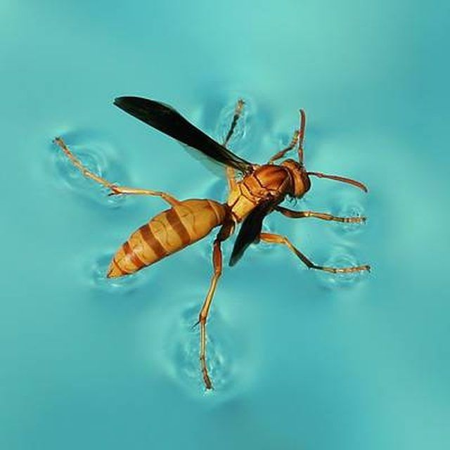 Few things can ruin a carefree day soaking up sunshine by the swimming pool more than wasps. Keeping hornets, yellow jackets and paper wasps away from a swimming pool is...