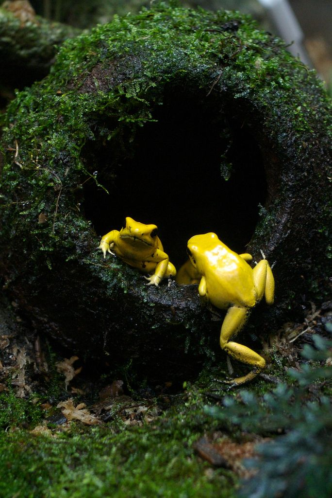 A pair of bright yellow frogs!