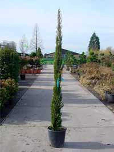Cupressus sempervirens / Säulenzypresse 175-200 cm Container