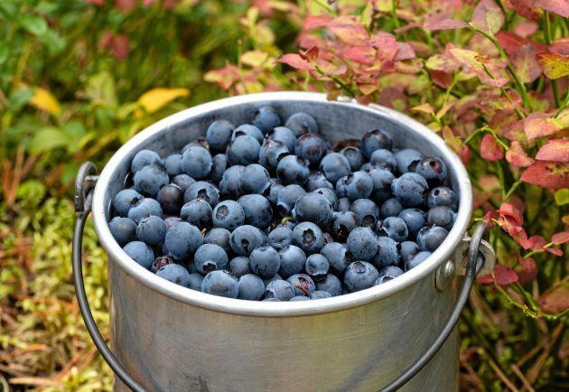 bästa sättet att rensa blåbär