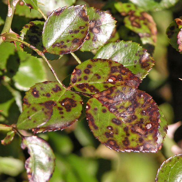 One of the most common rose diseases, black spot, is very time consuming to deal with. Here's some advice for avoiding black spot and what to do if your roses get it.