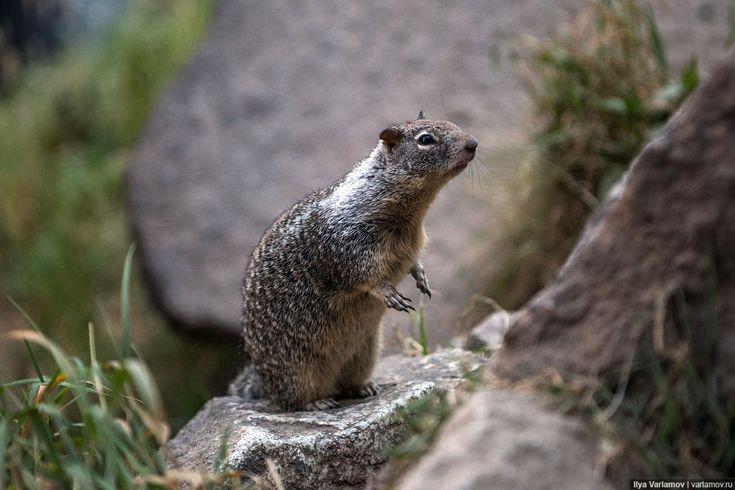 """Калифорнийский суслик (тут их называют буквально """"земляными белками"""") Национальный парк Йосемити"""