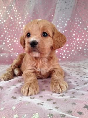 Female red Cockapoo Puppy for sale by a professional Cockapoo Breeder $675
