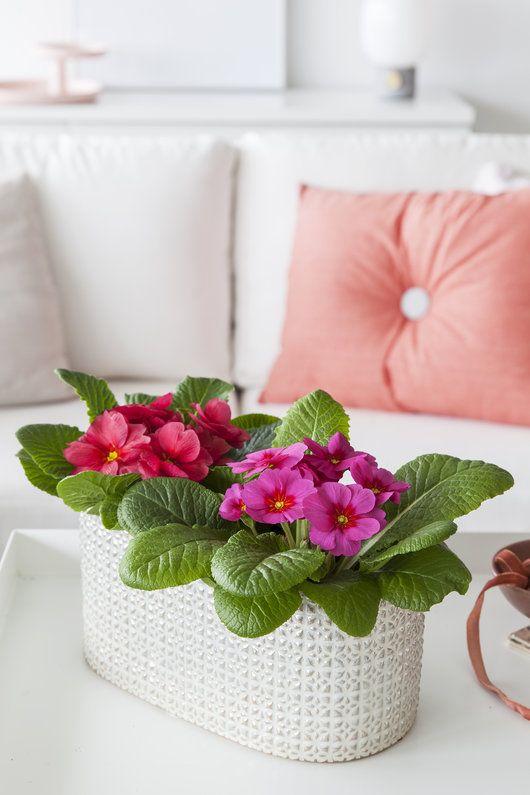 Vårlig og frisk primula