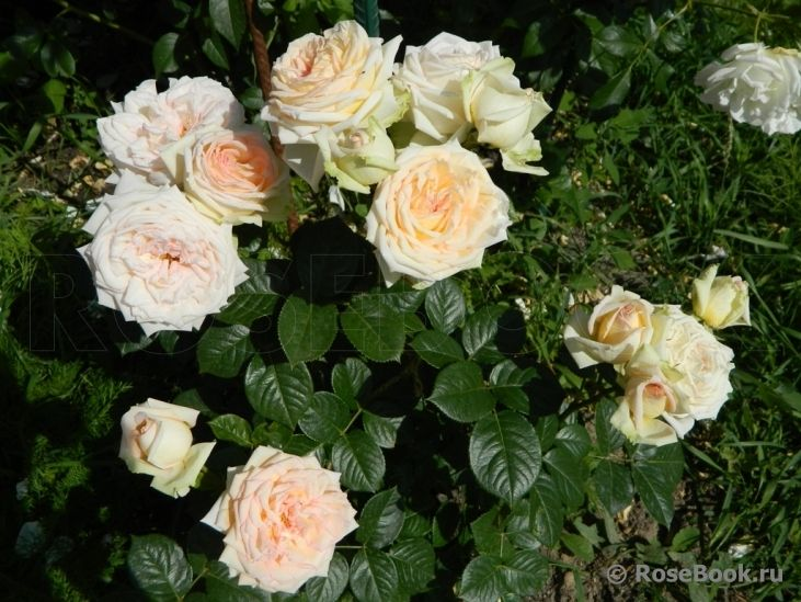 madame anisette roses pinterest. Black Bedroom Furniture Sets. Home Design Ideas