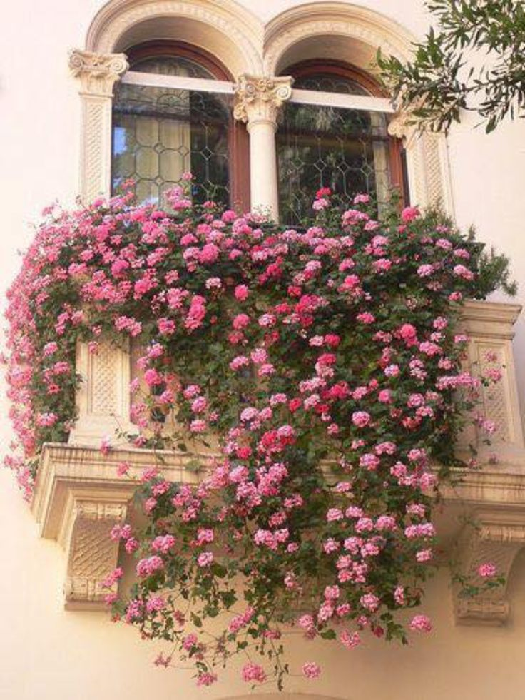 window decorated with pink geraniums,