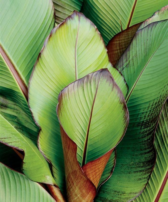 plante exotique intérieur | plante-exotique-bananier-feuilles-bananier-rouge plante exotique