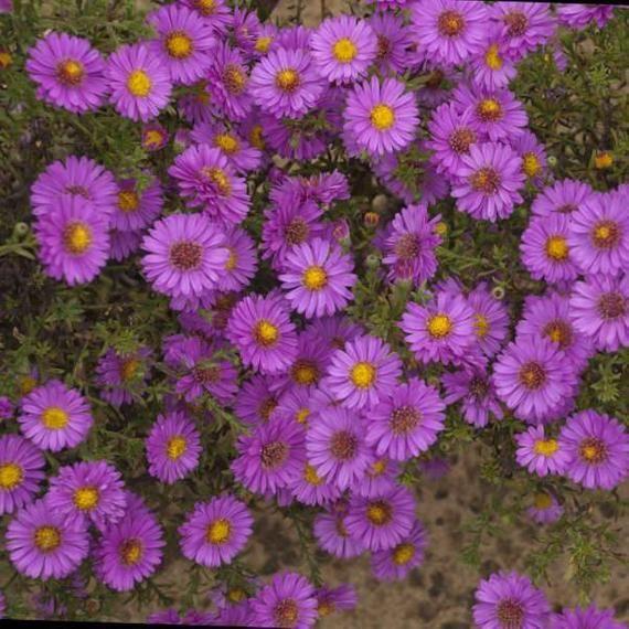 Asternovi Belgii Alert Michaelmas Daisy Late Etsy In 2020 Full Sun Perennial Flowers Autumn Garden Aster Flower
