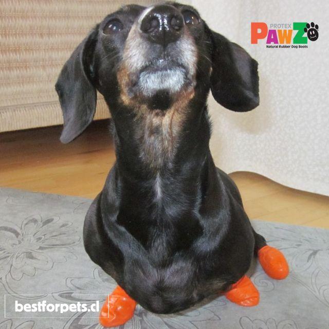 Pawz Dog Boots ayudan a mantener tu casa limpia! Alfombras y pisos impeques y libres de patitas de barro