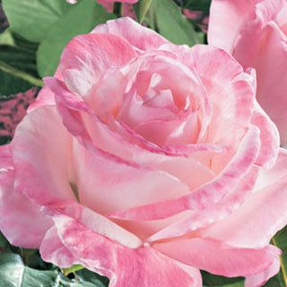 April in Paris - When Pristine met New Zealand, the result was this remarkably romantic rose.