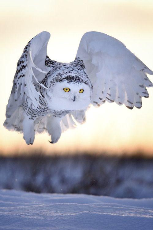 Owl in flight
