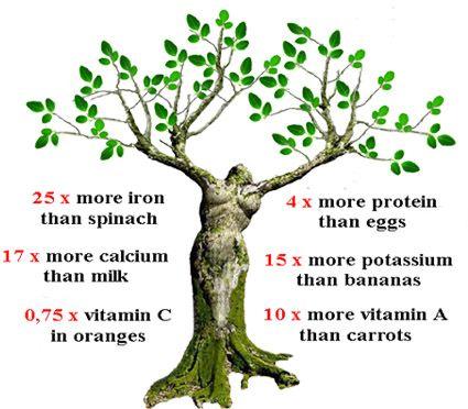 moringa oleifera tree nutrition