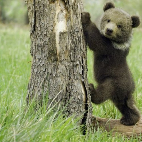 Grizzly bear cub <3