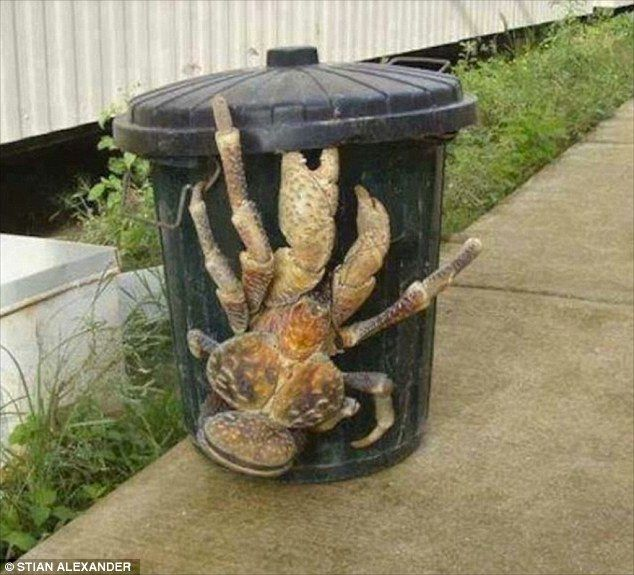 Exotic: Coconut crabs, also known as Robber Crabs, can live for up to 60 years and is a 'l...