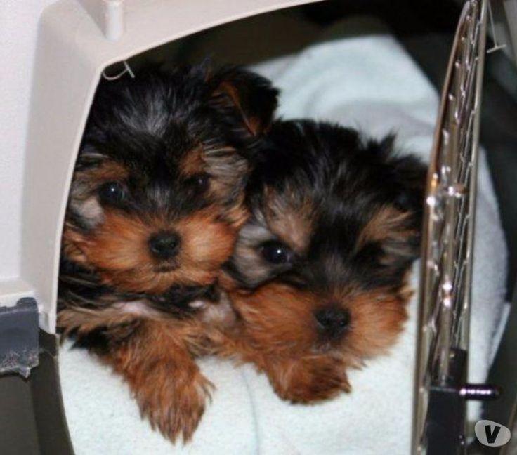 Fotos de Perritos Yorkie Miniatura Hermosos Disponibles