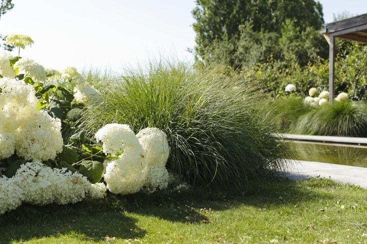 Mooi siergras met witte hortensia's.