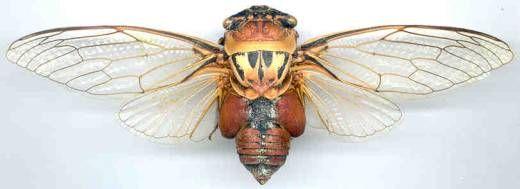 Australian Cicadas The Cicadas Of Central Eastern Australia Insect Cicada Pinterest