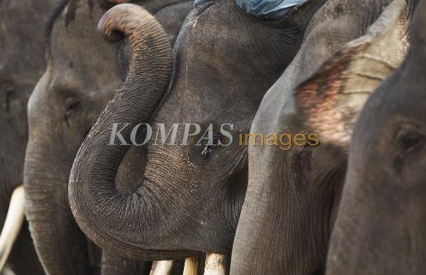 Gajah-gajah Sumatera (Elephas maximus sumatrensis) digiring ke luar kandang untuk mengikuti latihan rutin di Pusat Pelatihan Gajah di Taman Hutan Rakyat Sultan Syarif Hasim, di Kecamatan Minas, Kabupaten Siak, Riau, Jumat (21/3/2014). Sebanyak 20 gajah setiap hari digiring keluar kandang untuk makan sore dan mengikuti latihan kepatuhan dan keterampilan dari pelatihnya. Pelatihan gajah tersebut umumnya terbuka bagi umum setiap akhir pekan