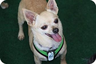 Pictures of Kimberly a Chihuahua for adoption in Colorado Springs, CO who needs a loving home.