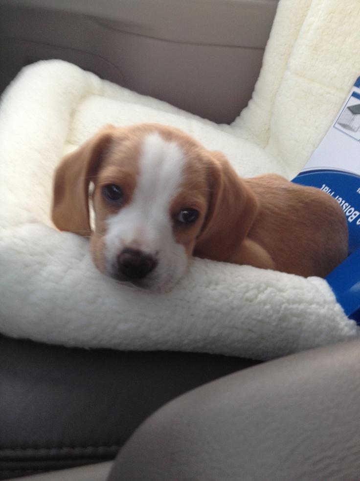 "My little ""Honey"" comb- Lemon Beagle"
