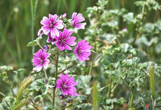 Les 35 meilleures images du tableau fleurs sauvages sur pinterest fleurs sauvages semis et - Plante grimpante qui fleurit tout l ete ...