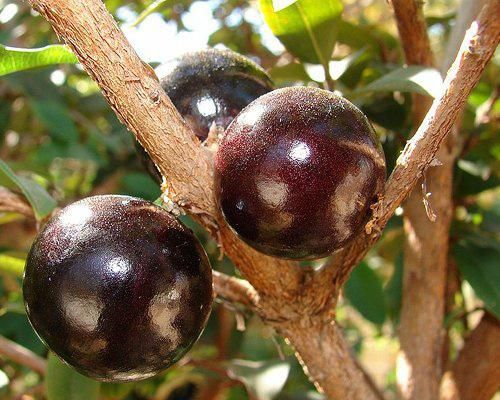 The JABUTICABA fruit is unusual in that it appears to blossom right out of the bark and trunk of its tree. The tree may even look covered in purple warts or pimples when it is fully in season. It is often used in its native lands in South America much like grapes are used elsewhere. Jabuticaba wines and liqueurs are both popular and exquisite!
