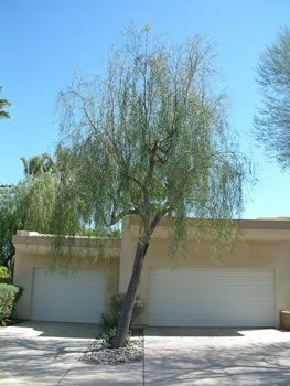 Australian Willow Tree Also Recommended Near Pool
