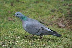 STOCK DOVE --- (Columba oenas). This bird is very similar to the Rock pigeon. The stock dove is the rarest of the wild European pigeons. In part of its European and western Asiatic range it is a migrant. There has been a sharp decline in France (−57% in 1976).