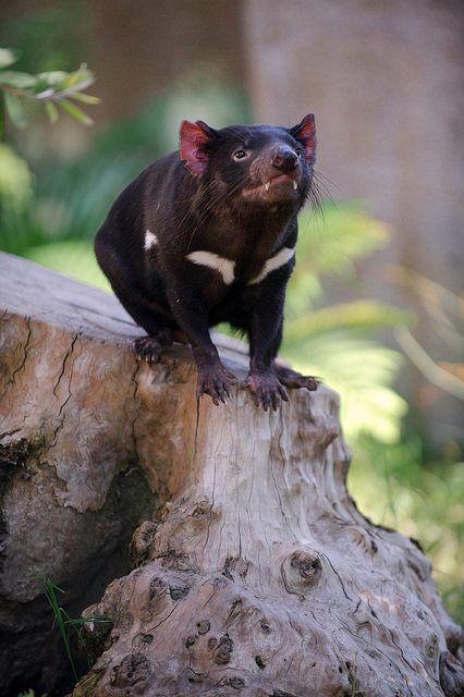 Tasmanian Devil. by LisaDiazPhotos on Flickr.