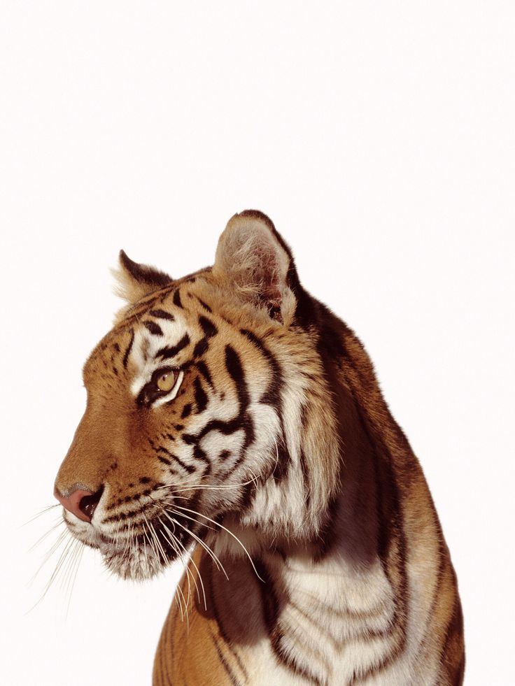 8 best Beautiful & stunning animals images on Pinterest ... - photo#24