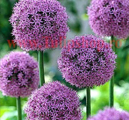 Bulbi Allium Gladiator (Ceapa decorativa)