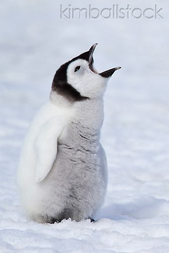 BRD 05 KH0029 01 - Emperor Penguin Chick Standing On Ice With Mouth Open For Food Antarctica - Kimballstock