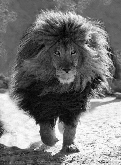 A mighty lion needs the main to go with it and this guys has it, wow!