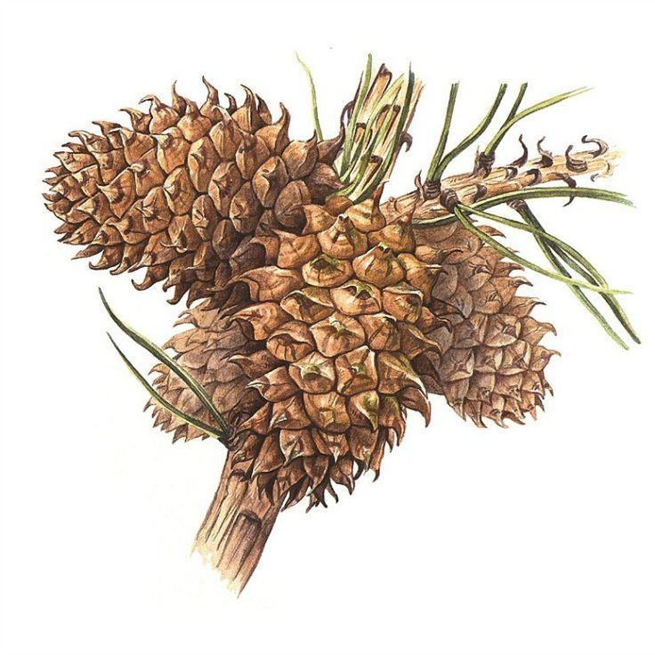 Bedgebury Pinetum Florilegium Society - Sandra Fernandez