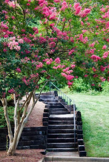 Crepe Myrtle - wonderfully shaped tree, drought tolerant, summer flowering in Australia.
