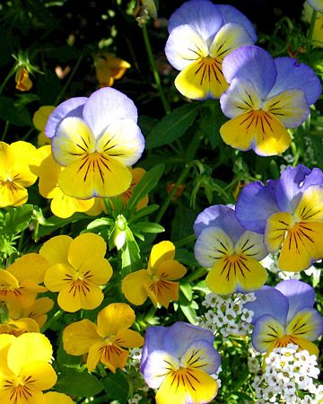 """Pansies - These are a must for fall, winter and spring garden. They are good for three seasons or until the extreme heat hits. - Great plant ~ Pansies are hardy annuals whose flowers have """"faces."""" These plants offer colorful flowers for any season in your garden. They have one of the widest ranges of colors and are good for containers, borders, and ground covers."""