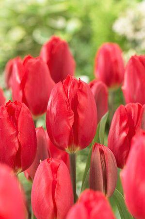 Tulipa single early 'Strawberry Ice' Tulip from ADR Bulbs